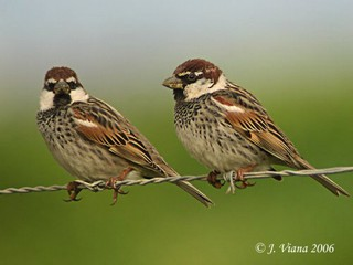Spanish Sparrows Passer hispaniolensis are not as ...